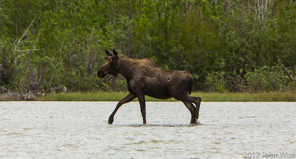 Female moose crossing the Alsek River in Kluane National Park / Yukon, Canada