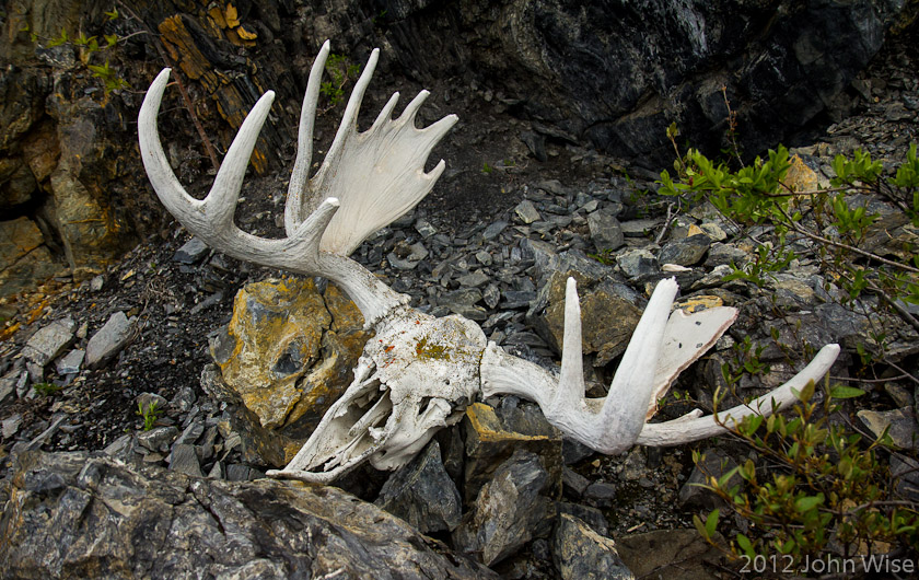 A bleached white moose skull on a primitive trail in Kluane National Park - Yukon, Canada