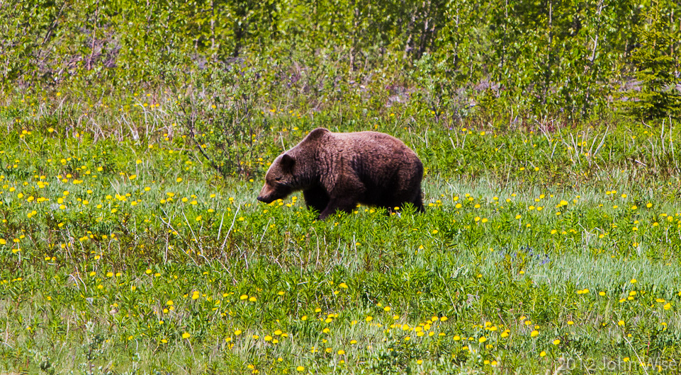A lumbering grizzly bear makes his way across a meadow off the Haines Highway