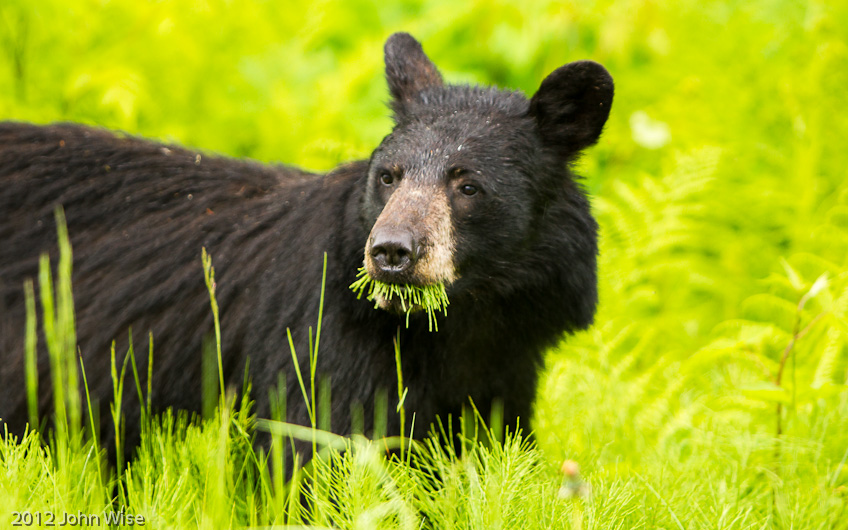 A black bear noshing on some fine greenery in Juneau, Alaska
